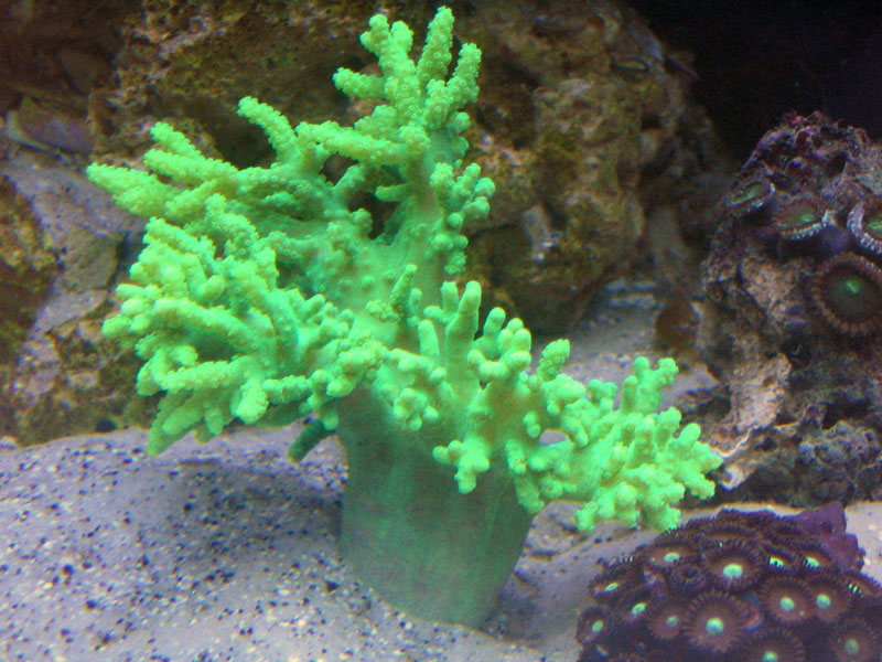 MARS • View topic - PIF green nepthea frag